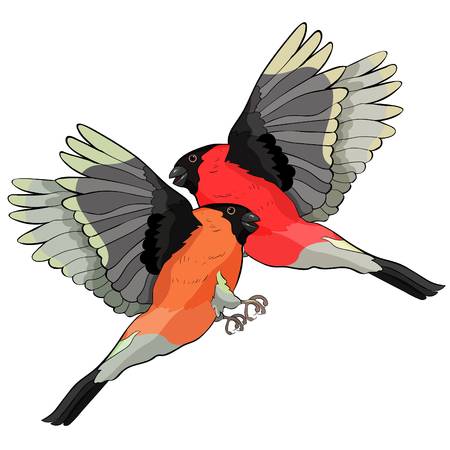 bullfinch bird couple winter red belly vector illustration