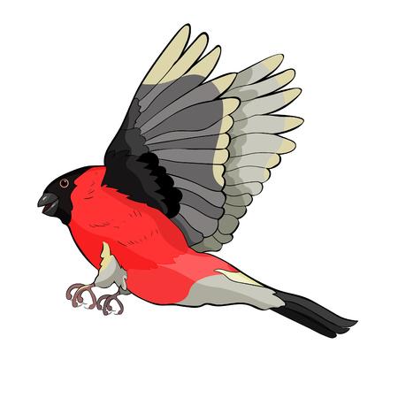 bullfinch bird winter red belly vector illustration Vettoriali