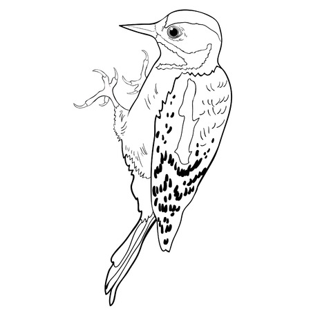 coloring  great spotted woodpecker young vector illustration