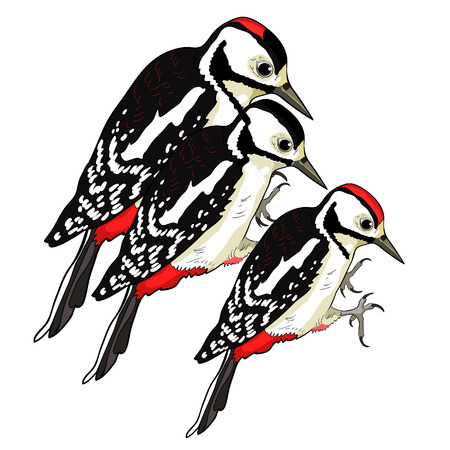 male female great spotted woodpecker young family vector illustration Illustration