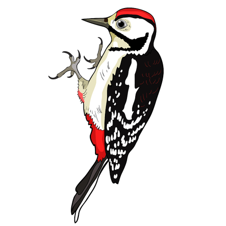 the great spotted woodpecker young vector illustration