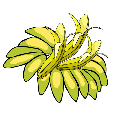 The banana of India exotica. vector illustration