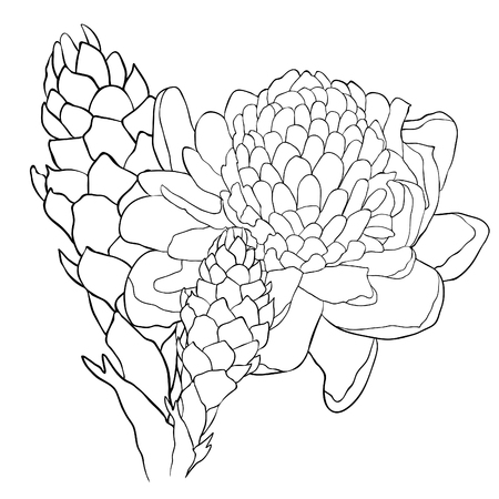 Tropical flower of a ginger coloring torch  vector illustration
