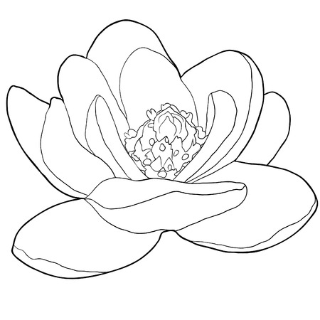 coloring magnolia flower  garden decorative.  vector illustration Vettoriali