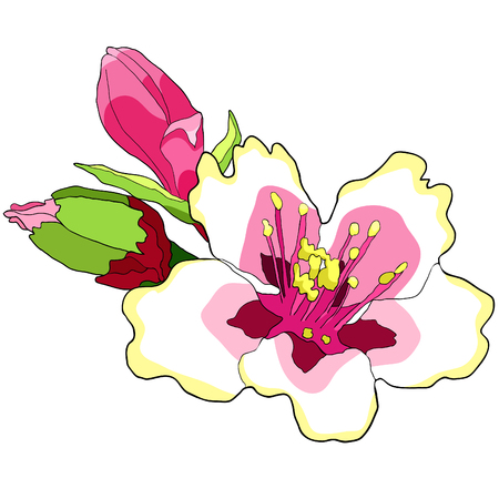 flower of the almond blossoms with buds. vector illustration