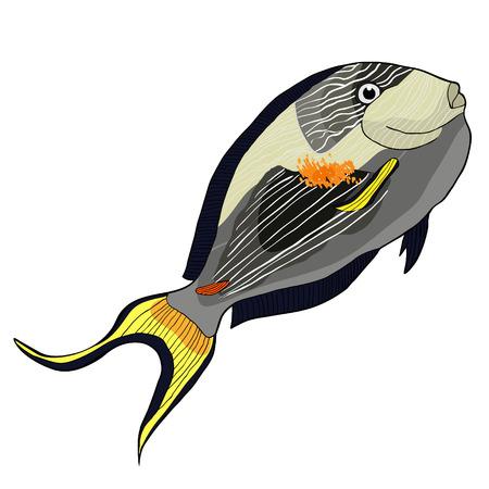 the Arabian surgeon Sohail fish  vector illustration