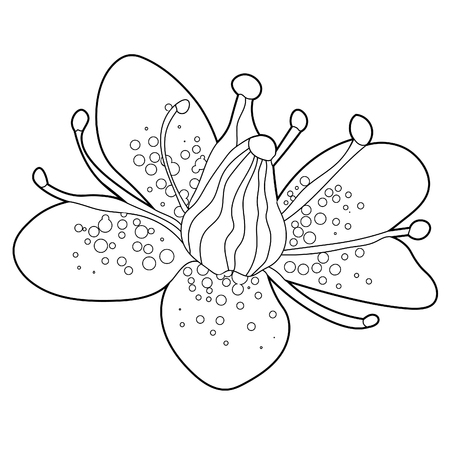 coloring flower of Saxifrage urbrosa  vector illustration