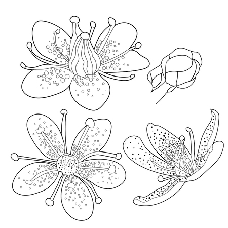 set coloring flower of the Saxifrage urbrosa  vector illustration