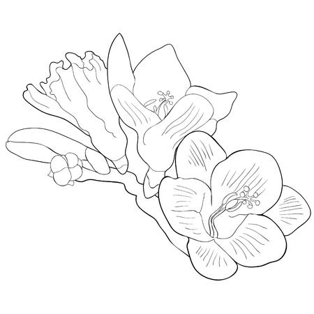 Coloring flower freesia kind of iris vector illustration.