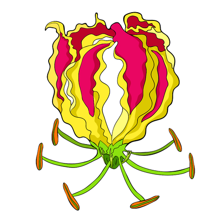 The Gloriosa flower Gorgeous red vector illustration.