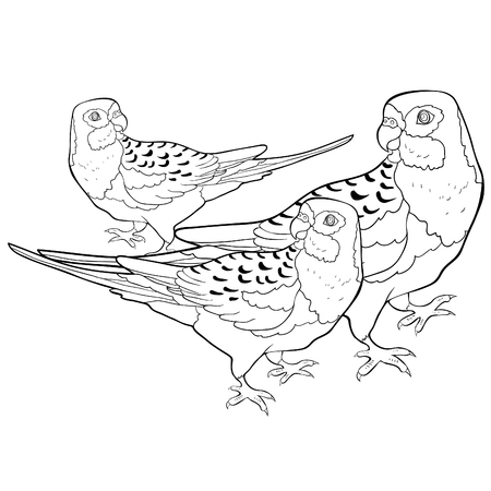 coloring exotic tropics family parrot roseella vector illustration Ilustração Vetorial