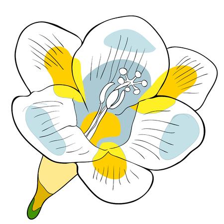 Flower freesia kind of iris. vector illustration.