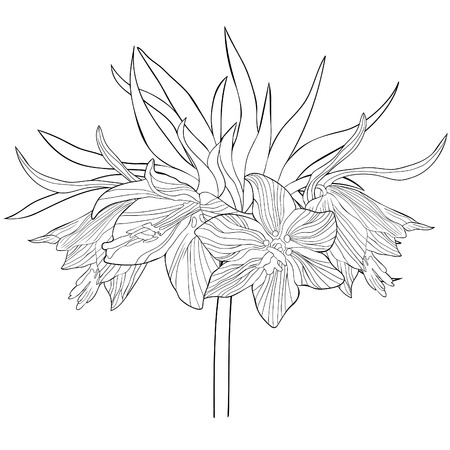 coloring  of Fritillaria imperialis flower paradise tree  vector illustration