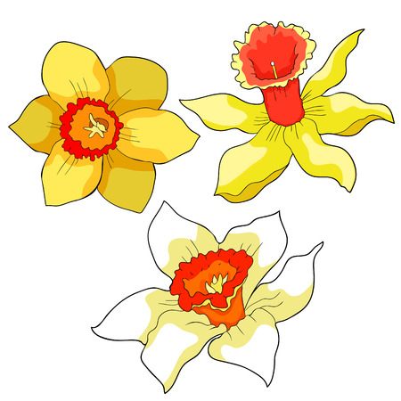Daffodil flower spring vector illustration isolated on white