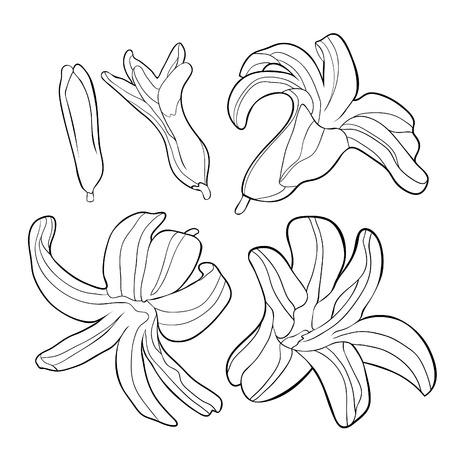 set coloring  is hyacinth spring flower  vector illustration