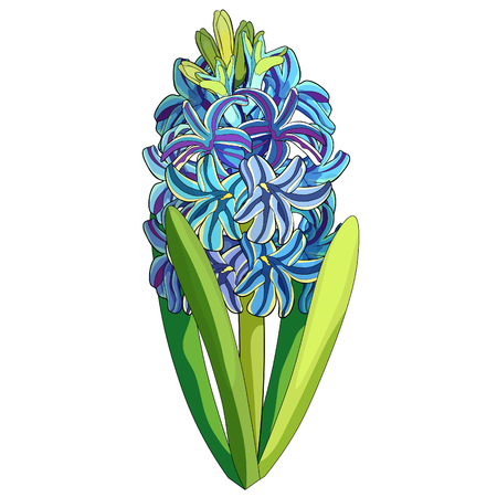 the is hyacinth spring flower  vector illustration