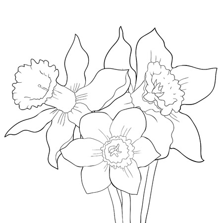 the coloring is daffodil flower spring  vector illustration