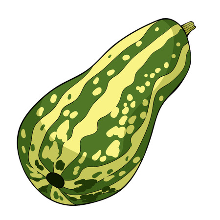 the is vegetable marrow natural vector illustration