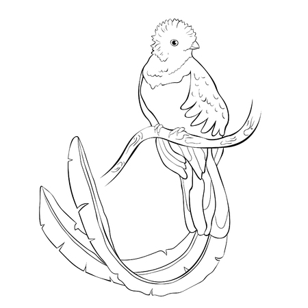 coloring resplendent quetzal bird male vector illustration Vetores