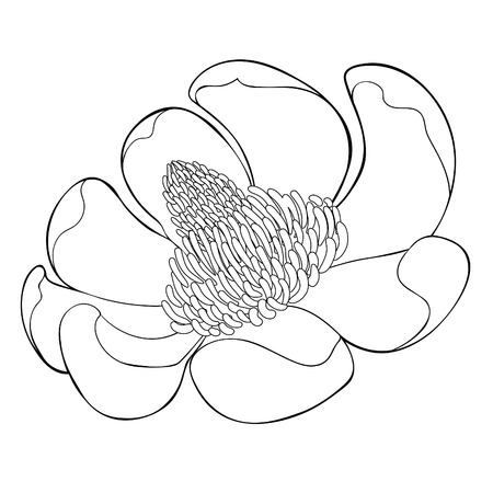 coloring Magnolia obovate flower in bloom vector illustration Ilustrace