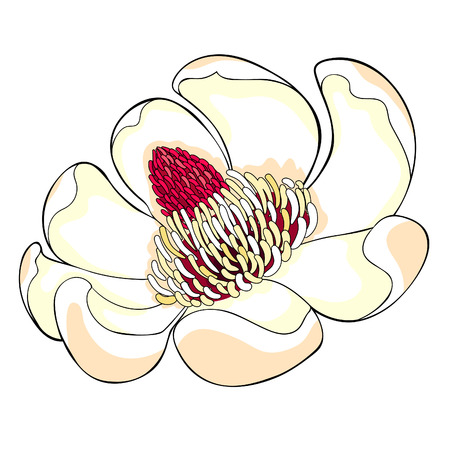 Magnolia obovate flower in bloom vector illustration