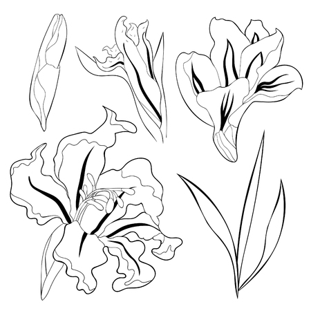 set coloring is gladiolus flower natural vector illustration