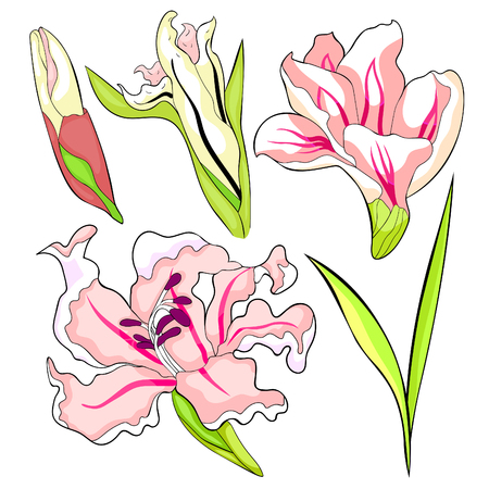 set is gladiolus flower natural vector illustration