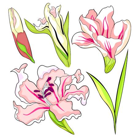 set is gladiolus flower natural vector illustration Imagens - 126375888