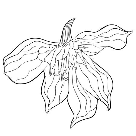 coloring  Gladiolus Acidanthera flower natural  vector illustration Illustration