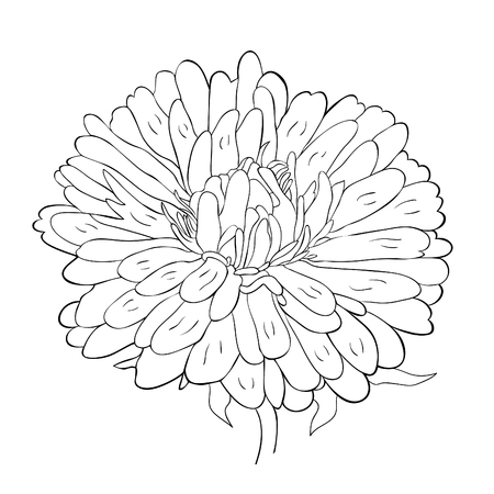 coloring Michaelmas daisy aster spring Flower vector illustration