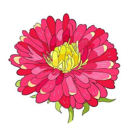 Michaelmas daisy aster spring Flower vector illustration Ilustrace