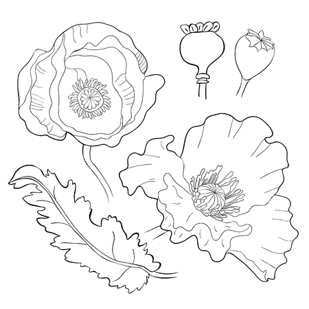 set coloring poppy flower bud with seeds  vector illustration