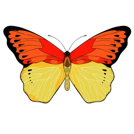 Indonesia exotic Butterfly Hebomoia Leucippa vector illustration