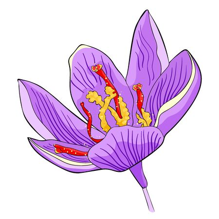 the is spring saffron flower vector illustration