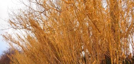 yellowed: Yellowed plants