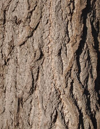 Bark of sycamore photo