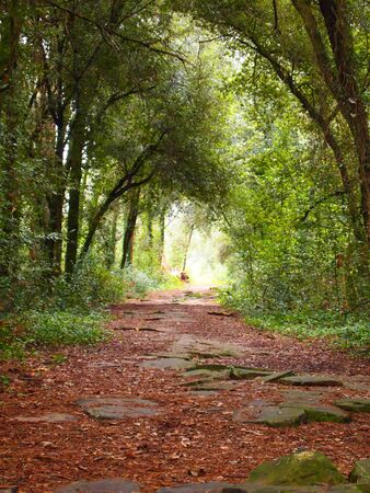 Roman road in the pine forest photo