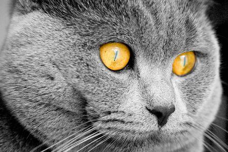 grey haired: British cat - head detail Stock Photo