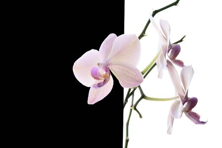 phal: White orchid on black and white background