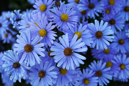 A lot of blue flowers photo