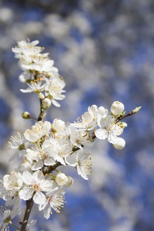 Beautiful white blossom flowers on a tree photo