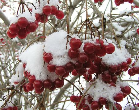 eberesche: Rote Beeren im Schnee Eberesche