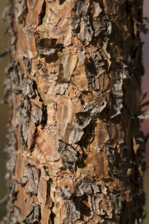 rinds: The bark of the conifer Stock Photo