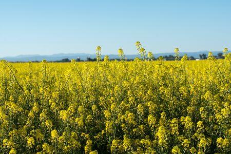 Mustard Plant Фото со стока - 81282294