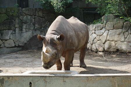 grazer: rhinoceros