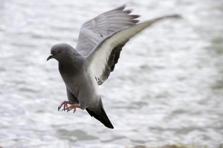 pidgeon: Pidgeon flying