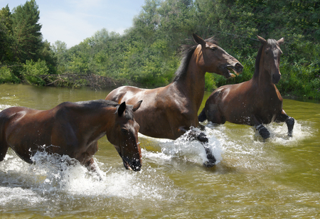 unstoppable: herd of horses galloping on the water