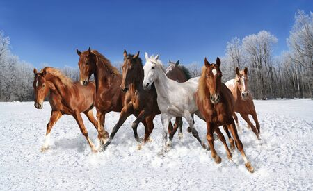 the snow quickly herd of horses galloping Stockfoto