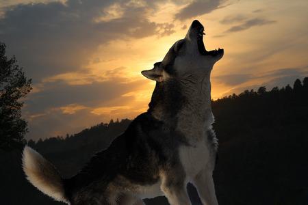 canzone solitaria di un lupo in un bosco scuro
