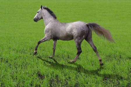 trotter: breed horse Orlov trotter runs on grass
